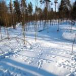Hötussar – Utlagda hötussar(i bortre kant av bilden) lockar till sig harar och andra smådjur