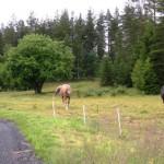 Hästar – Hästar i pastoral miljö, observera sälgen i bakgrunden