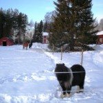 Hästar – Tre hästar som trivs i snön inne på Valen
