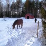 Hästar trampar upp stigar i snön