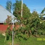 Binas pollinering ger rik äppelskörd