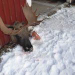 Än finns stora älgar i Norrlands skogar.